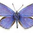 Stock Photo: Polyommatus dorylas
