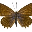 Stock Photo: Polyommatus daphnis