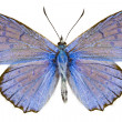 Polyommatus daphnis — Stock Photo