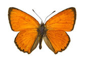 Lycaena virgaureae — Stock Photo