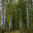 Birch form path — Stock Photo