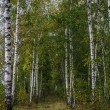 Foto Stock: Birch form path