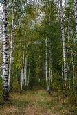 Birch form path — Stock Photo