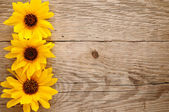 Ornamental sunflowers on wooden background — Stock Photo
