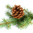 Spruce branches with fir cone isolated on white background — 图库照片