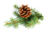 Spruce branches with fir cone isolated on white background — Stok fotoğraf