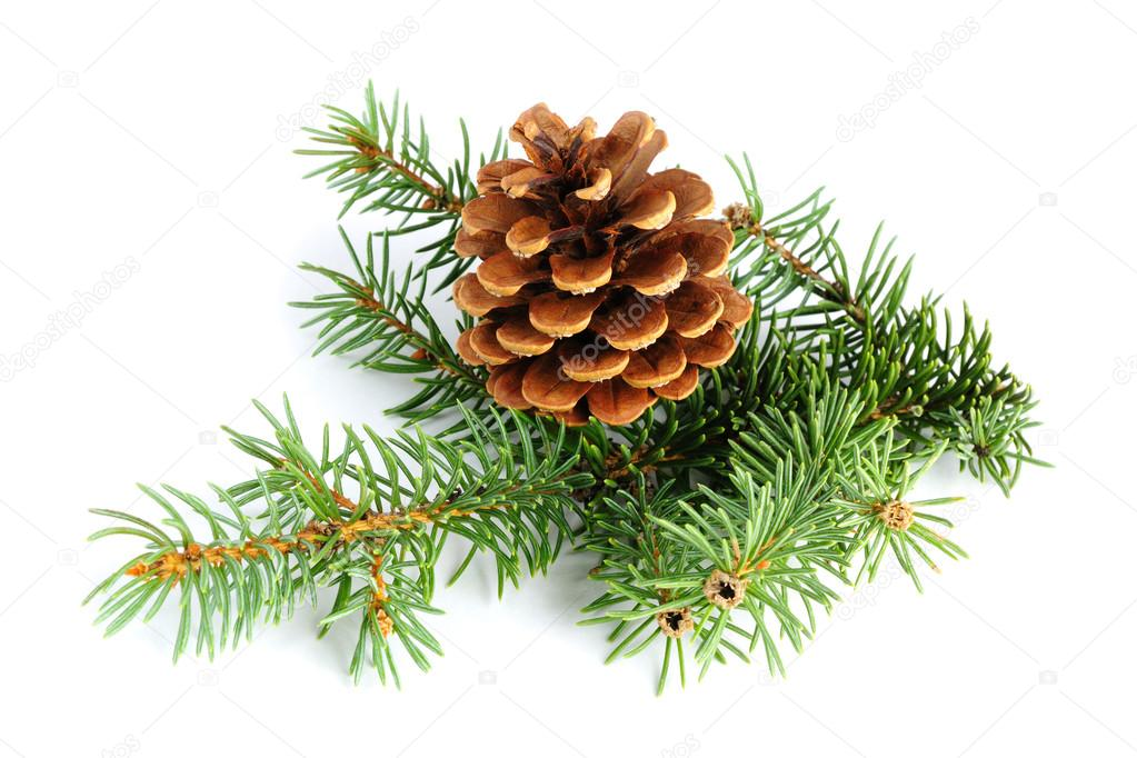 Spruce branches with fir cone isolated on white background — Stock Photo #13745967