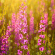 Stock Photo: Purple wild flowers in sunlight