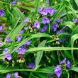 Stock Photo: Tradescantivirginianflowers