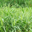 Stock Photo: Ornamental grass milium effusum in garden