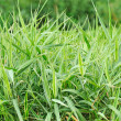 Ornamental grass milium effusum in garden — Stock Photo