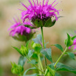 Monarda fistulosa flower in garden — Stock Photo