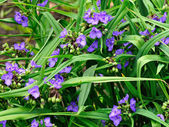 Tradescantia virginiana flowers — Stock Photo
