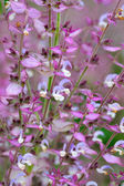 Salvia sclarea flowers closeup — Stock Photo