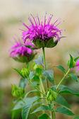 Monarda fistulosa flower in garden — Stock Photo