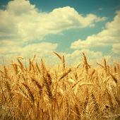 Vintage photo of wheat ears on field — Stok fotoğraf