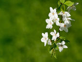 Cherry blossom on green background — Stock Photo