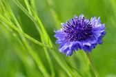 Cornflower closeup on green background — Photo