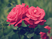Red roses retro style — Stock fotografie