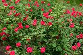 Roses rouges dans le jardin — Photo