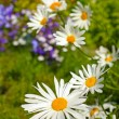 Beautiful marguerites growing int he garden - Stok fotoğraf