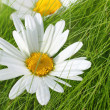 Beautiful marguerites on the grass - Stok fotoğraf