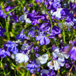Beautiful blue and white lobelia flowers - Stockfoto