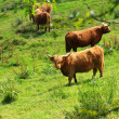 Scottish highland cows - Stockfoto
