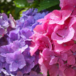 Beautiful hydranges in the garden — Stock Photo