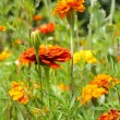 Meadow of zinnias in the garden -  
