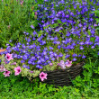 Blue lobelia, pink surfinia and rozmary - Stockfoto