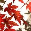 Beautiful red japanes maple against white background — Stockfoto