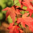 Beautiful red japanes maple against white background — Lizenzfreies Foto