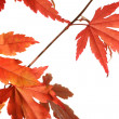 Beautiful red japanes maple against white background — Foto Stock