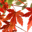 Beautiful red japanes maple against white background — Stock fotografie
