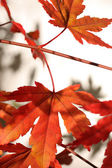 Beautiful red japanes maple against white background — Stock Photo
