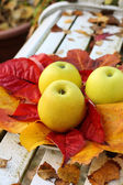 Ripe, green apples in the garden, Autumn time — Stockfoto