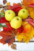 Ripe, green apples in the garden, Autumn time — Stock Photo