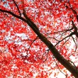 Red Japanese Maple tree in the park - Stock Photo