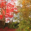 Red Japanese Maple tree in the park — Foto de Stock