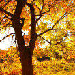 Beautiful Autumnal maple tree close up — Foto Stock