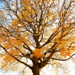 Beautiful, autumnal maple tree against the sky — Stok fotoğraf