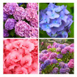 A collection of Hydrangea flowers — Stockfoto