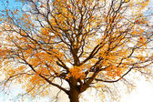 Árbol de arce otoñal, hermoso contra el cielo — Foto de Stock