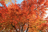 Beautiful, red autumnal leaves background — Stock Photo