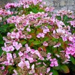 Pink hydrangea flowers close up — Stockfoto