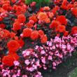 Beautiful flower bed with begonia flowers - Stock fotografie