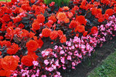 Beautiful flower bed with begonia flowers — Stock Photo
