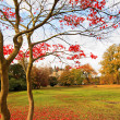 Red Japanese maple tree in the park. — Foto Stock