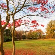 Red Japanese maple tree in the park. — Lizenzfreies Foto